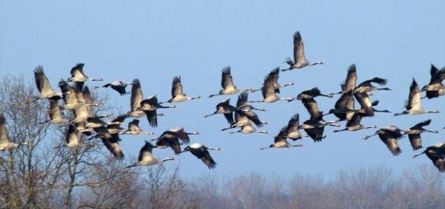 oiseaux-migrateurs2