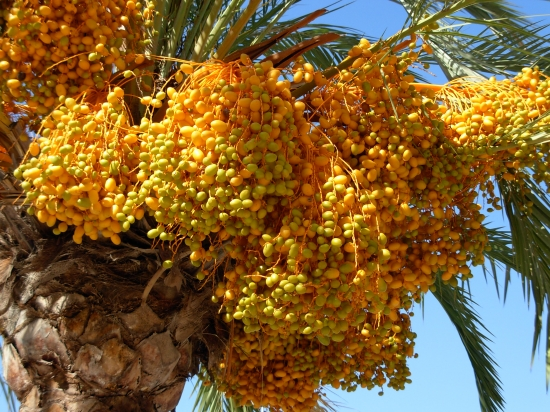 A dates palm tree