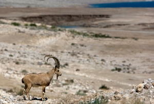 An ibex on the shore of the Dead Sea near a sinkhole